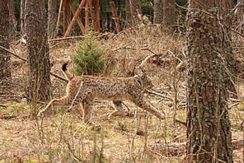 Abaris w środowisku naturalnym (fot. WWF Polska/Stefan Jakimiuk)